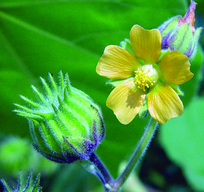 velvetleaf fruit & flower