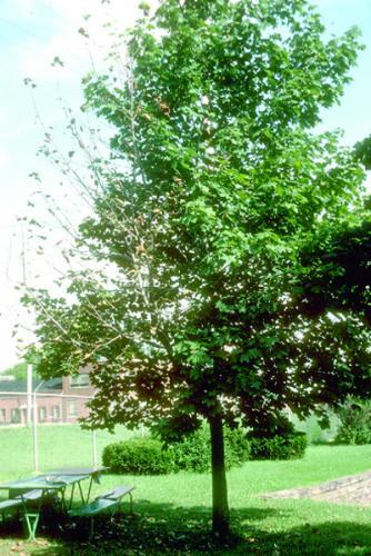 Verticulum Wilt On Maple