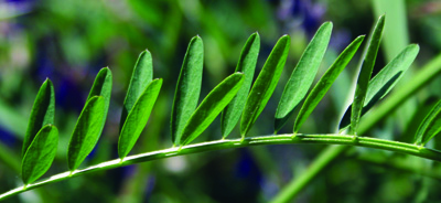 pinnately compound leaf of vetch