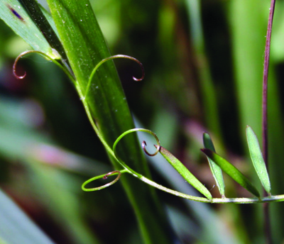 twining tendril of vetch