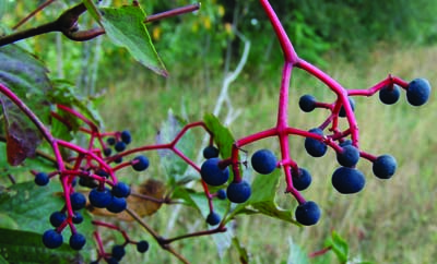 Virginia creeper fruit