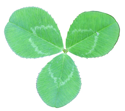 white clover leaf