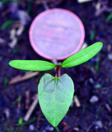wild buckwheat seedling