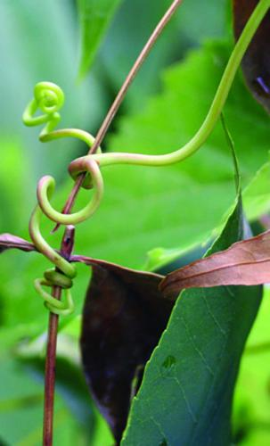 wild grape tendril