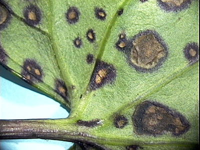 Alternaria on ligularia