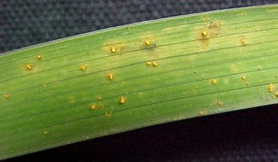 pustule on daylily foliage