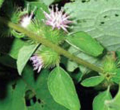 common burdock flowers and fruit