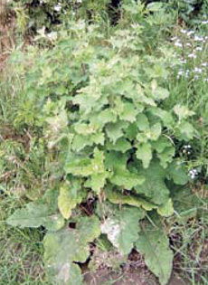 common burdock mature