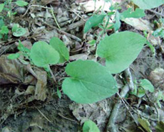common burdock young