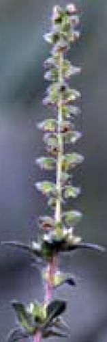 common ragweed flowering branch