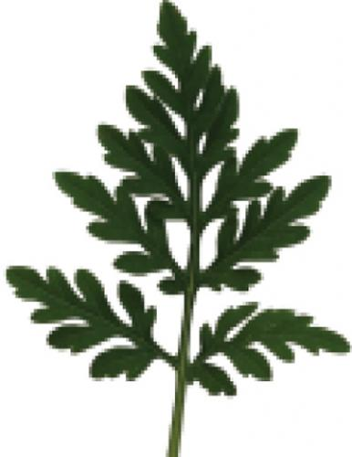common ragweed leaf