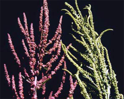 waterhemp inflorescense
