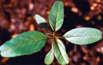 waterhemp seedling