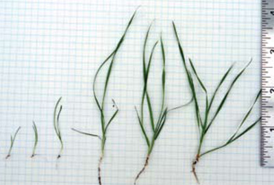 common windgrass seedlings