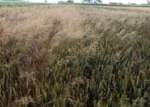 common windgrass in wheat