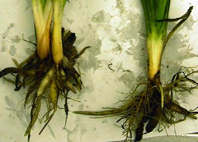 day lily root rotpythium