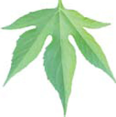 giant ragweed leaf