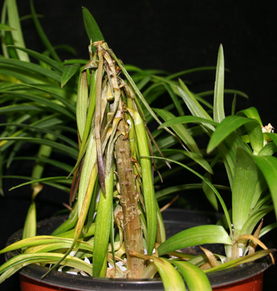 Phytophthora stem rot lily