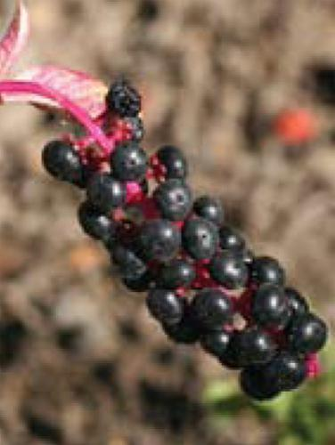 mature pokeweed berries