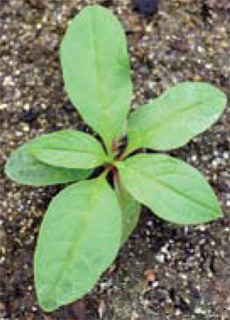 young pokeweed plant