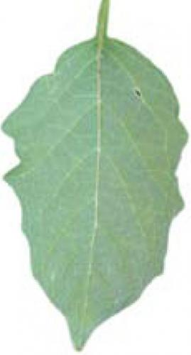 smooth groundcherry leaf