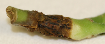 Stem with sclerotia