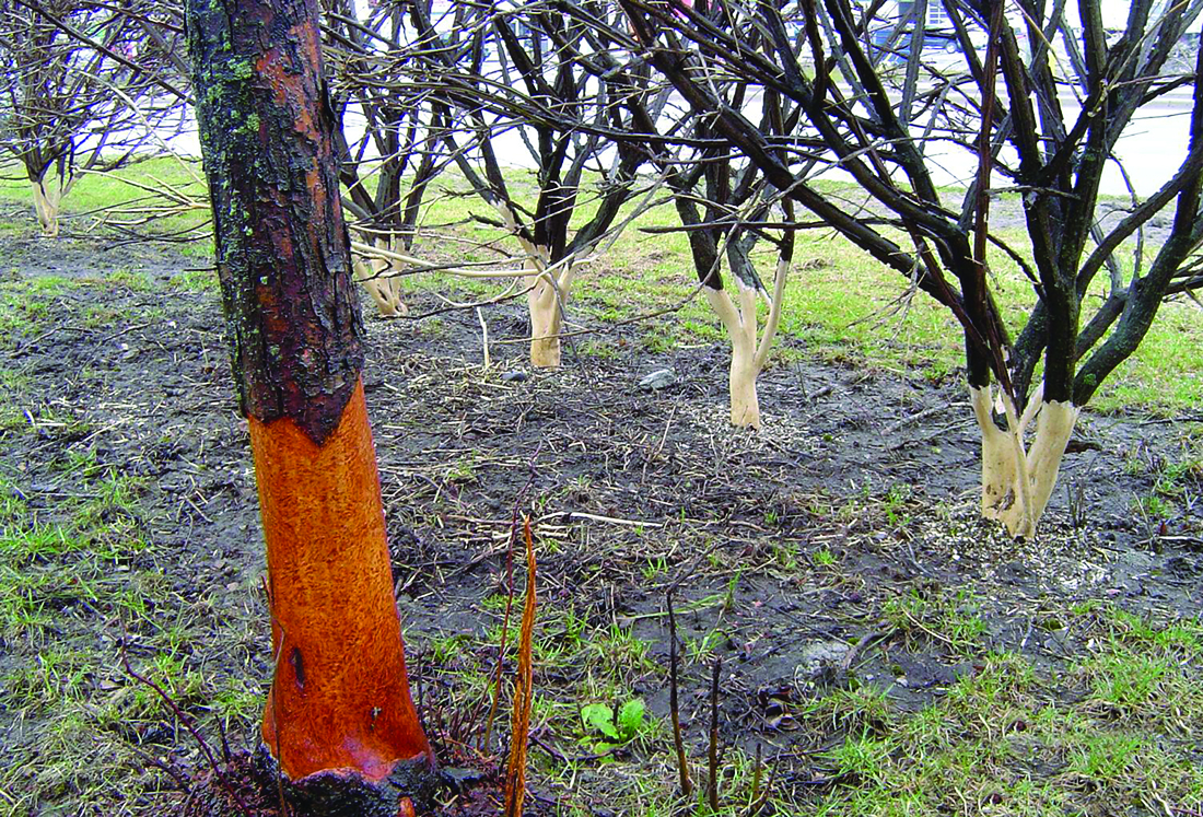 Trees damaged by vole