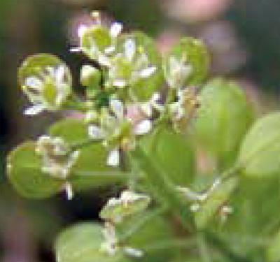 Virginia pepperweed flowers and fruit