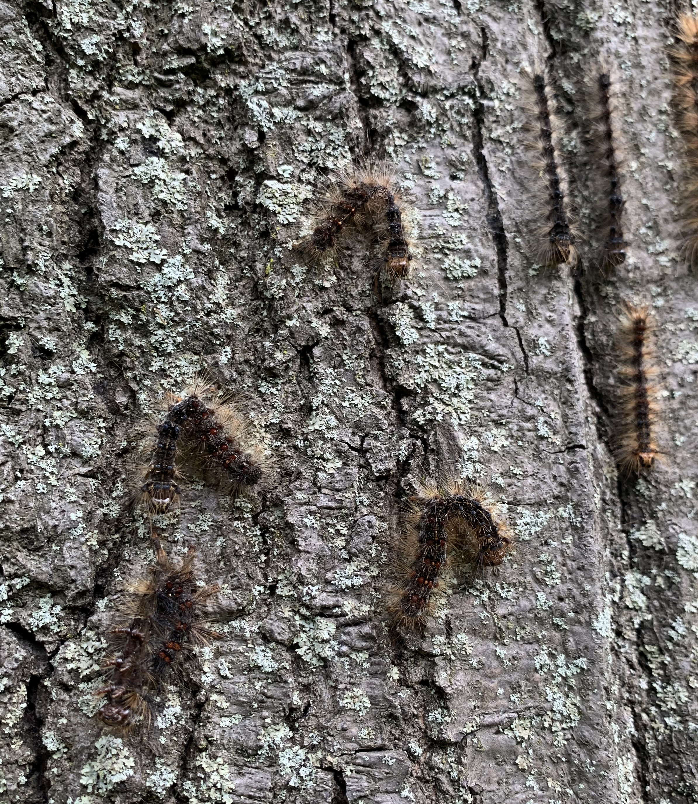 Gypsy moth infected by virus