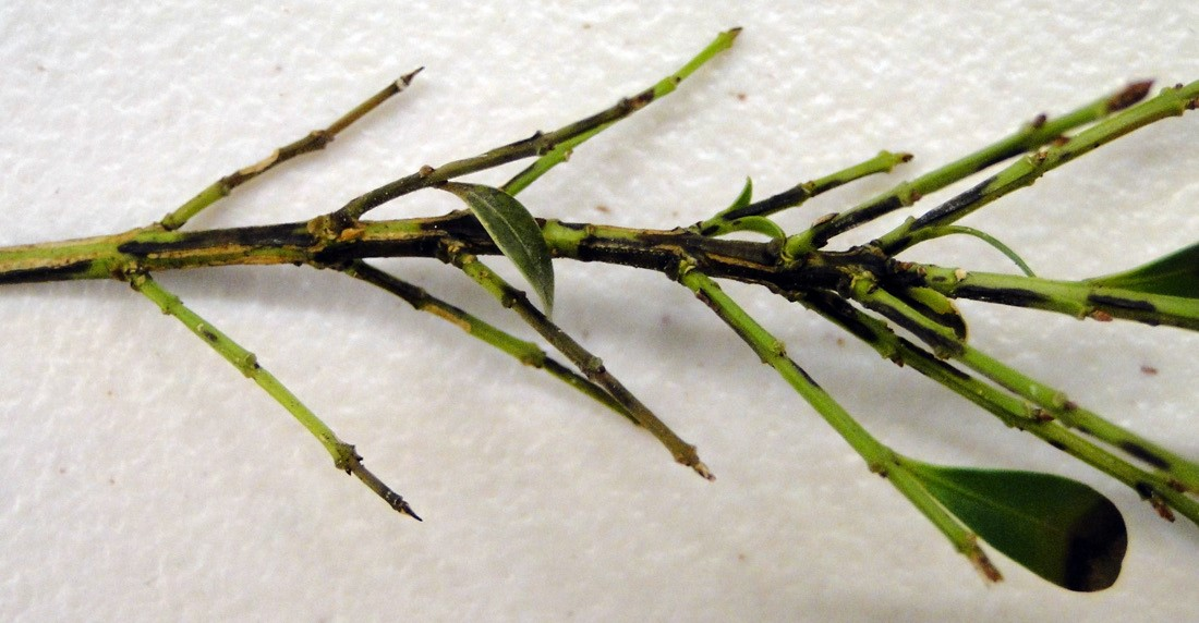 Black stem lesions