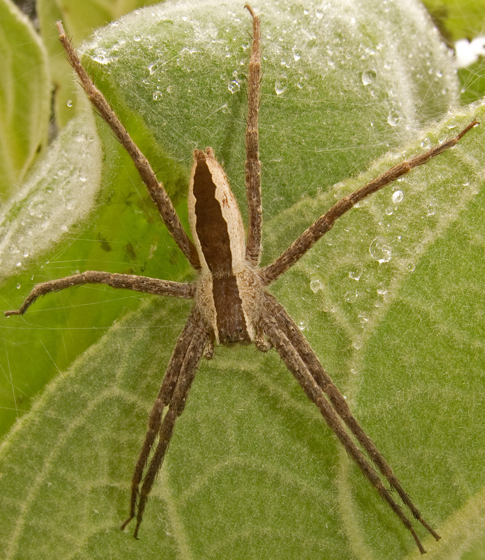 Don T Panic Over Brown Recluse Spiders In Michigan Landscaping