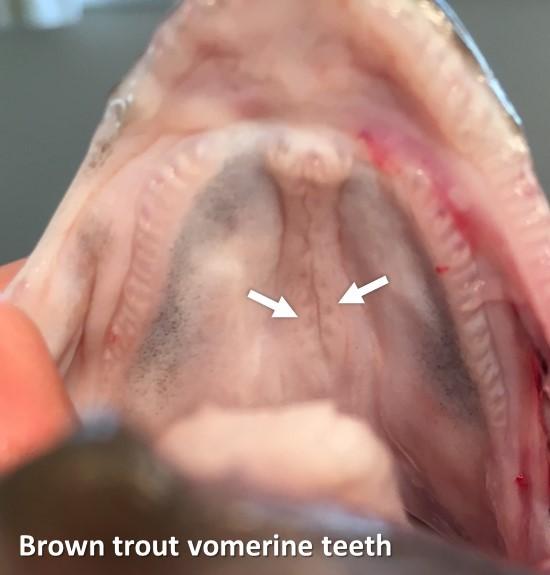 Brown Trout vomerine teeth final (002)