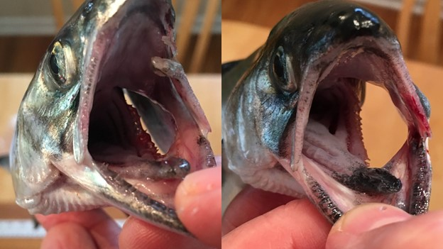 Fish head chinook salmon
