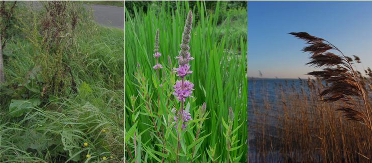 A set of three pictures show three different kinds of invasive plants. Bluntleaf dock (Rumex obtusifolius), Purple loosestrife (Lythrum salicaria) and invasive common reed (Phragmites australis subsp. australis), three of the invasive plants included in GLANSIS]
