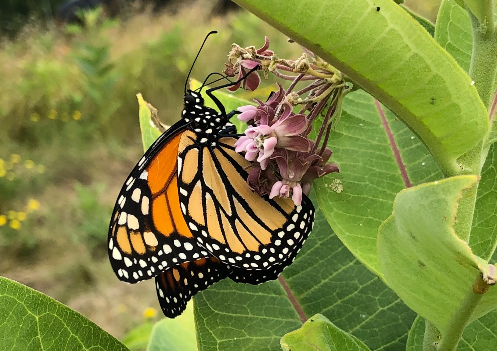 adult monarch butterfly drinking nectar from milkweed flower