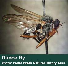 Dance fly photo by Cedar Creek Natural History Area