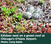 Killdeer nest on a green roof at Chicago's O'Hare Airport. Photo: Carly Eakin