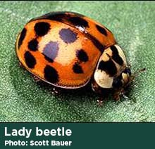 Lady beetle photo by Scott Bauer