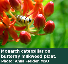 A monarch caterpillar on a butterfly milkweed plant. Photo: Anna Fiedler, MSU