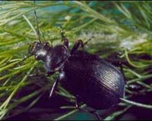 Predaceous ground beetle