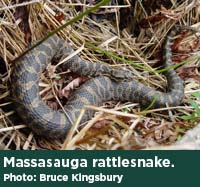 Massasauga rattlesnake. Photo by Bruce Kingsbury.