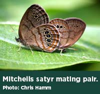 Mitchells satyr mating pair. Photo by Chris Hamm.