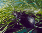 Predacious ground beetle