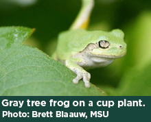Gray tree frog on a cup plant