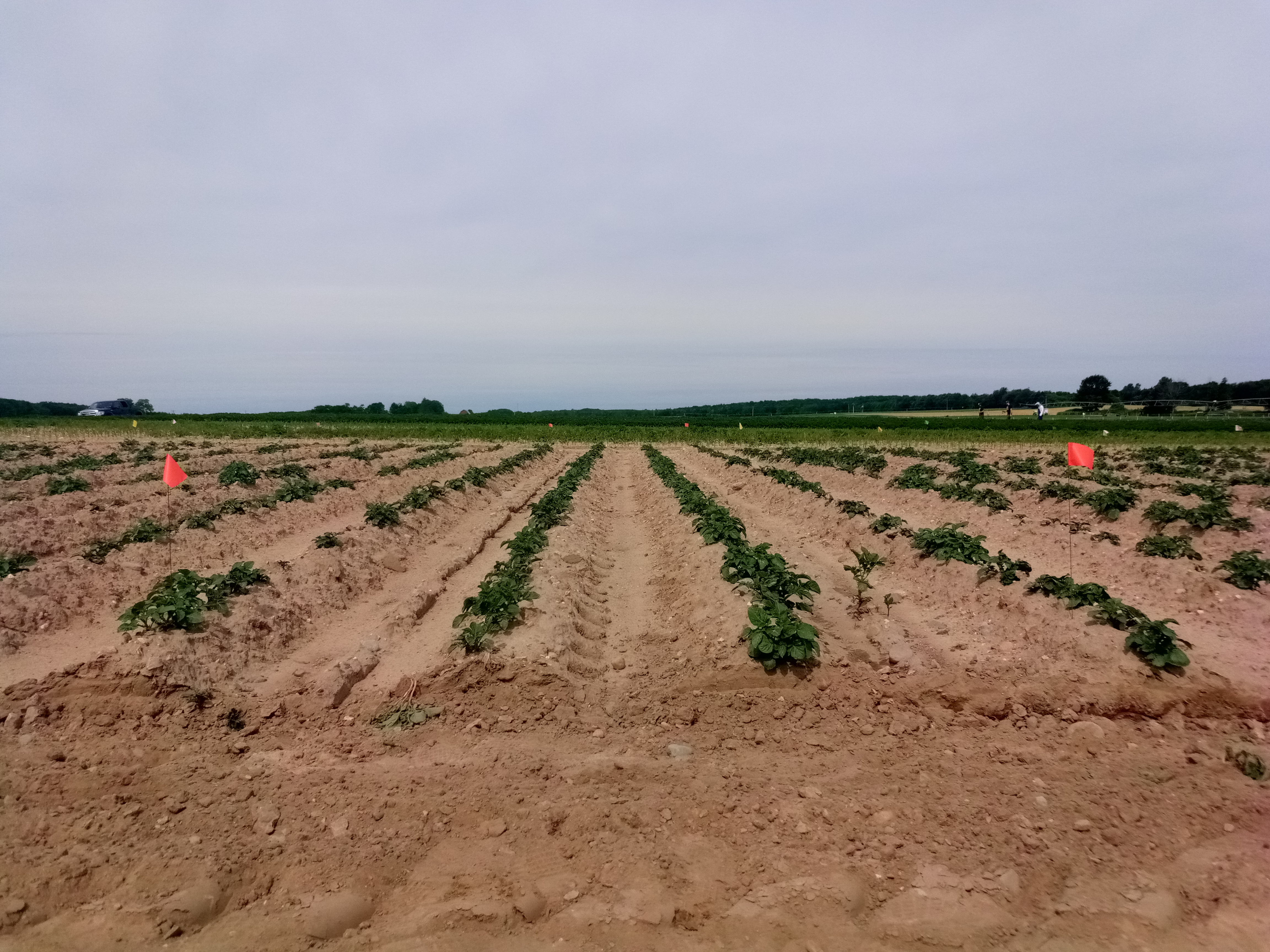 Photo of potato nematicide evaluation field trial.