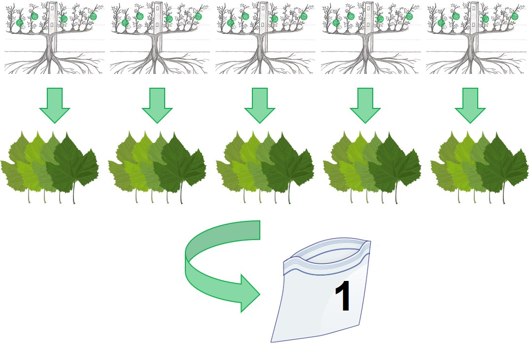 Diagram showing a composite sample of five grapevines for virus testing.