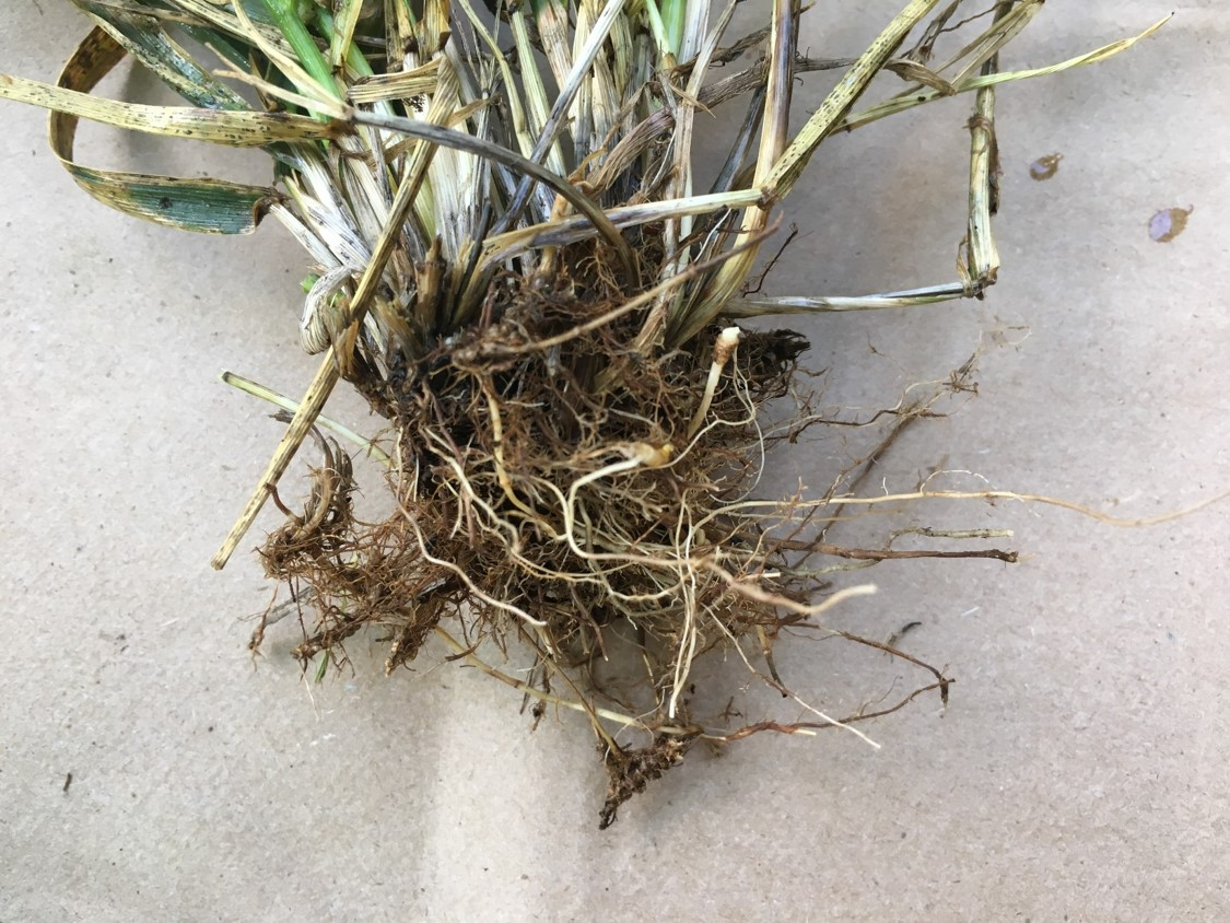 tall fescue roots