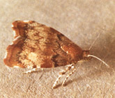 Adult Apple Leaf Skeletonizer Moth