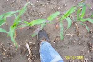 Anthracnose infected corn in field