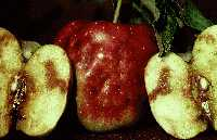 Apple Browning due to Apple Maggot